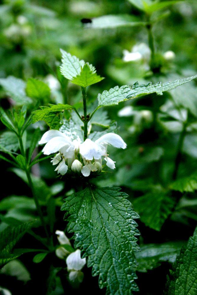 Weisse Taubnessel Lamium Album Alte Heilpflanze Die Einzige Weissblutige Und Mehrjahrige Taubnessel Mehrjahrige Pflanzen Heilpflanzen Pflanzen