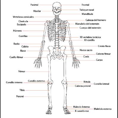 imagenes de huesos del cuerpo humano vista frontal | Proyectos ...