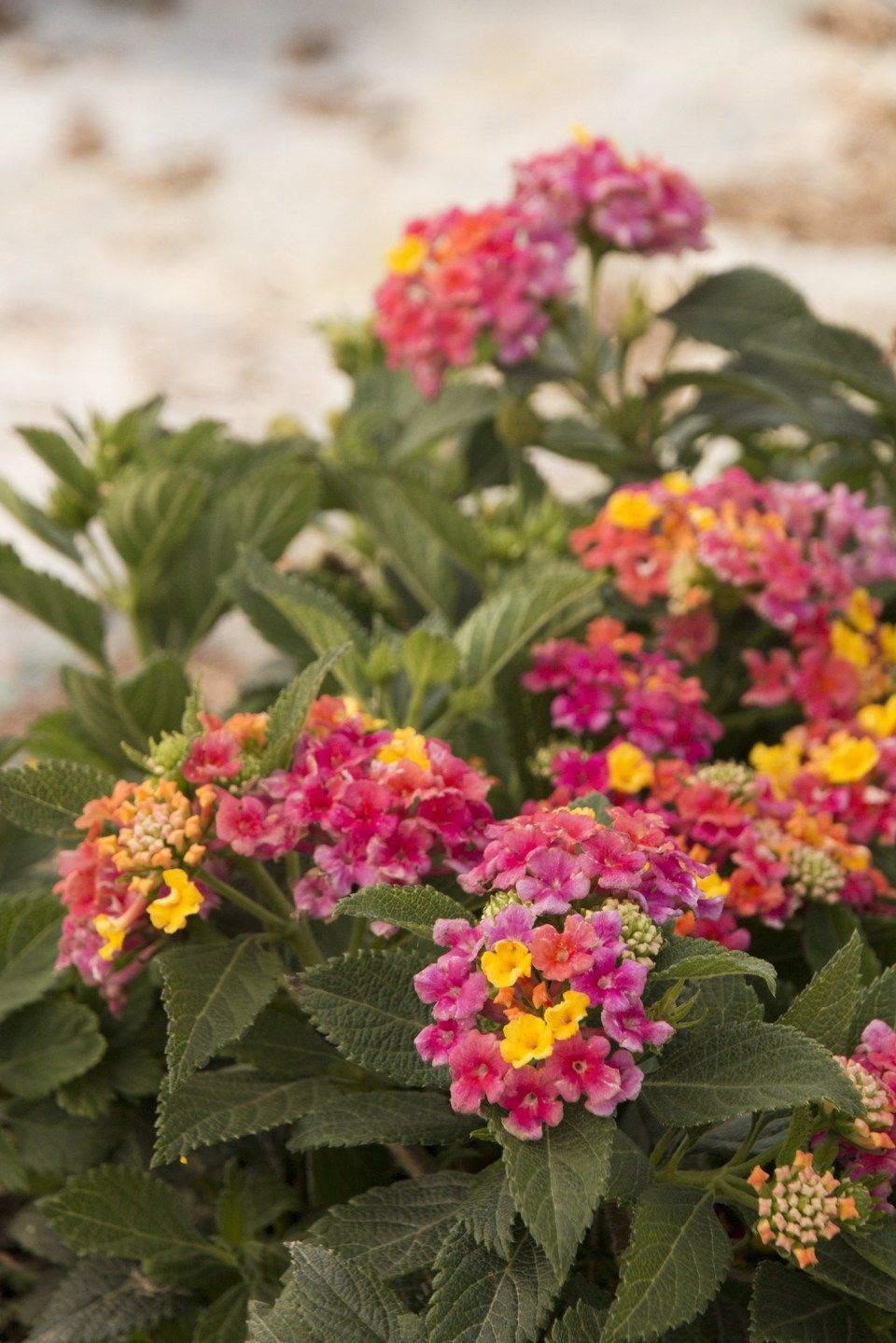 9 Ways On How To Get The Most From This Lantana Plant North Texas With Images Lantana Healthy Garden
