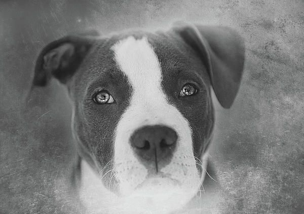 This is Vida, a three year old American Pit Bull Terrier. Contrary to popular belief, pit bulls are not predisposed to human or dog aggression. Pit Bulls always test high as one of the most stable breeds of dogs. Because of this, they are extremely patient and tolerant of children. The problem is that some individuals train them to be aggressive. Judge the deed....not the breed! There is also a color tinted version available.