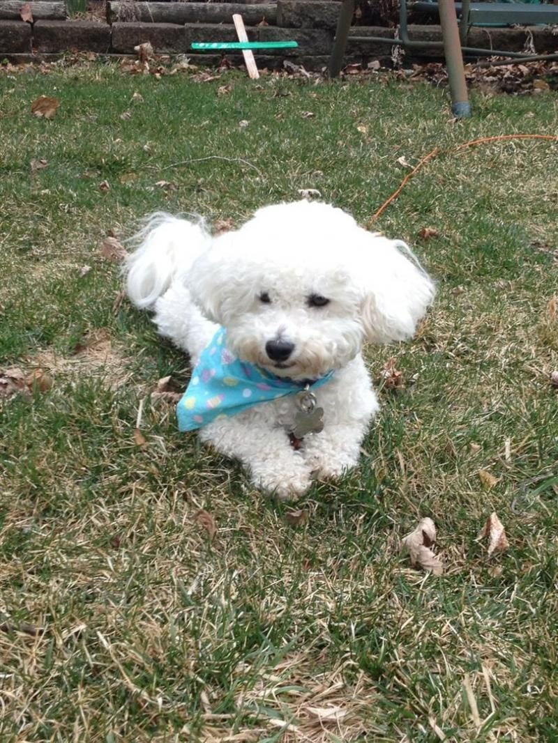 Adopt Sammy On Petfinder Boxer Dogs Bichon Frise Dogs Small Dog Rescue