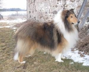 Collies Of Blueharvest Collie Big Teddy Animals