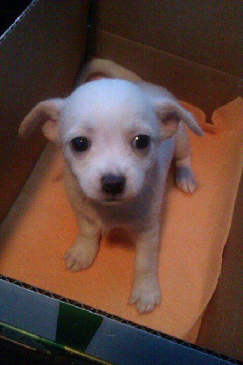 Puppy Malchi This Angel Looks Just Like My Malchi Cozi