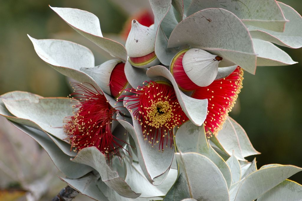 """""""Rose of the West"""" Australian native flowers"""