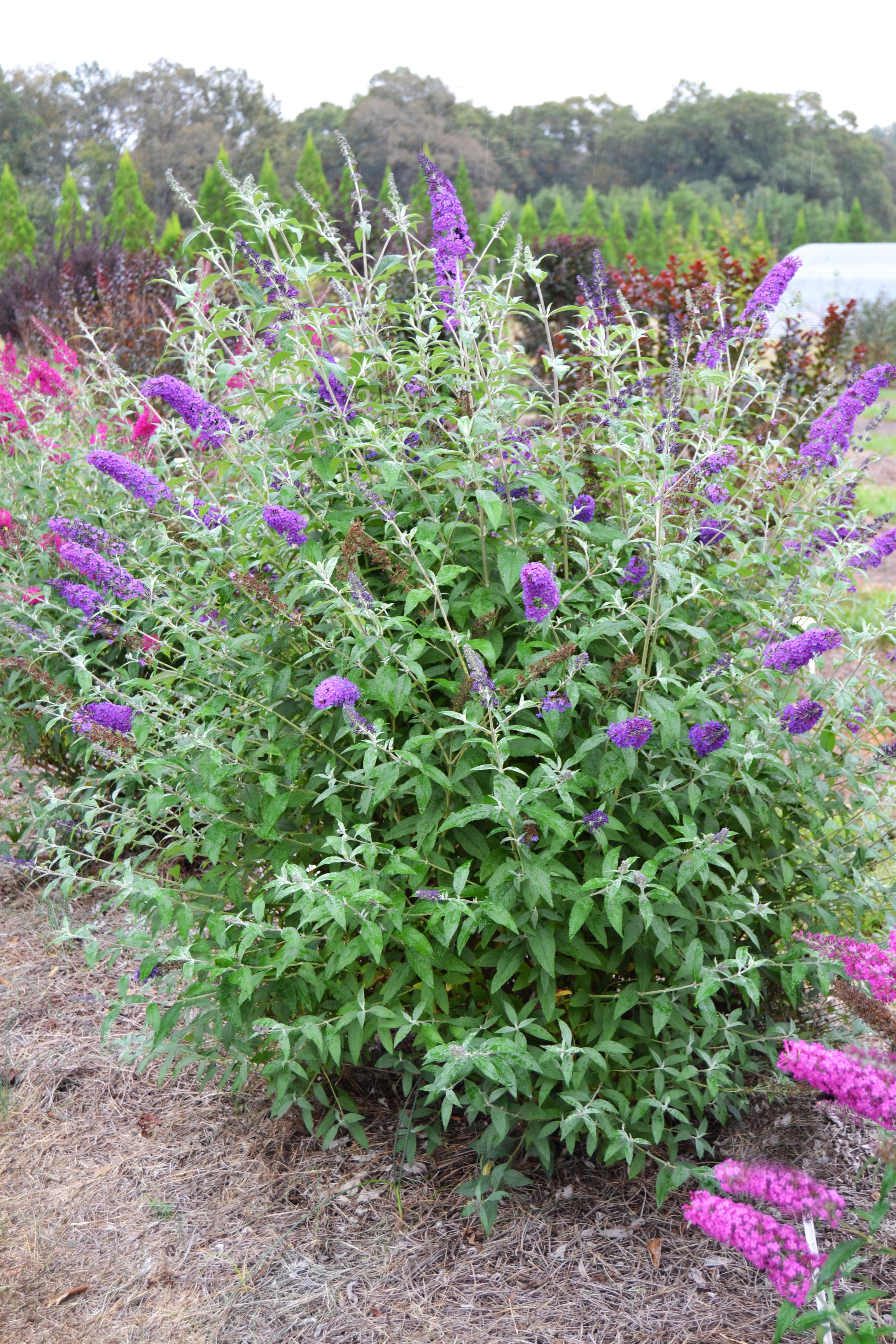 Psychedelic Sky Butterfly Bush Butterfly Bush Backyard Landscaping Plants