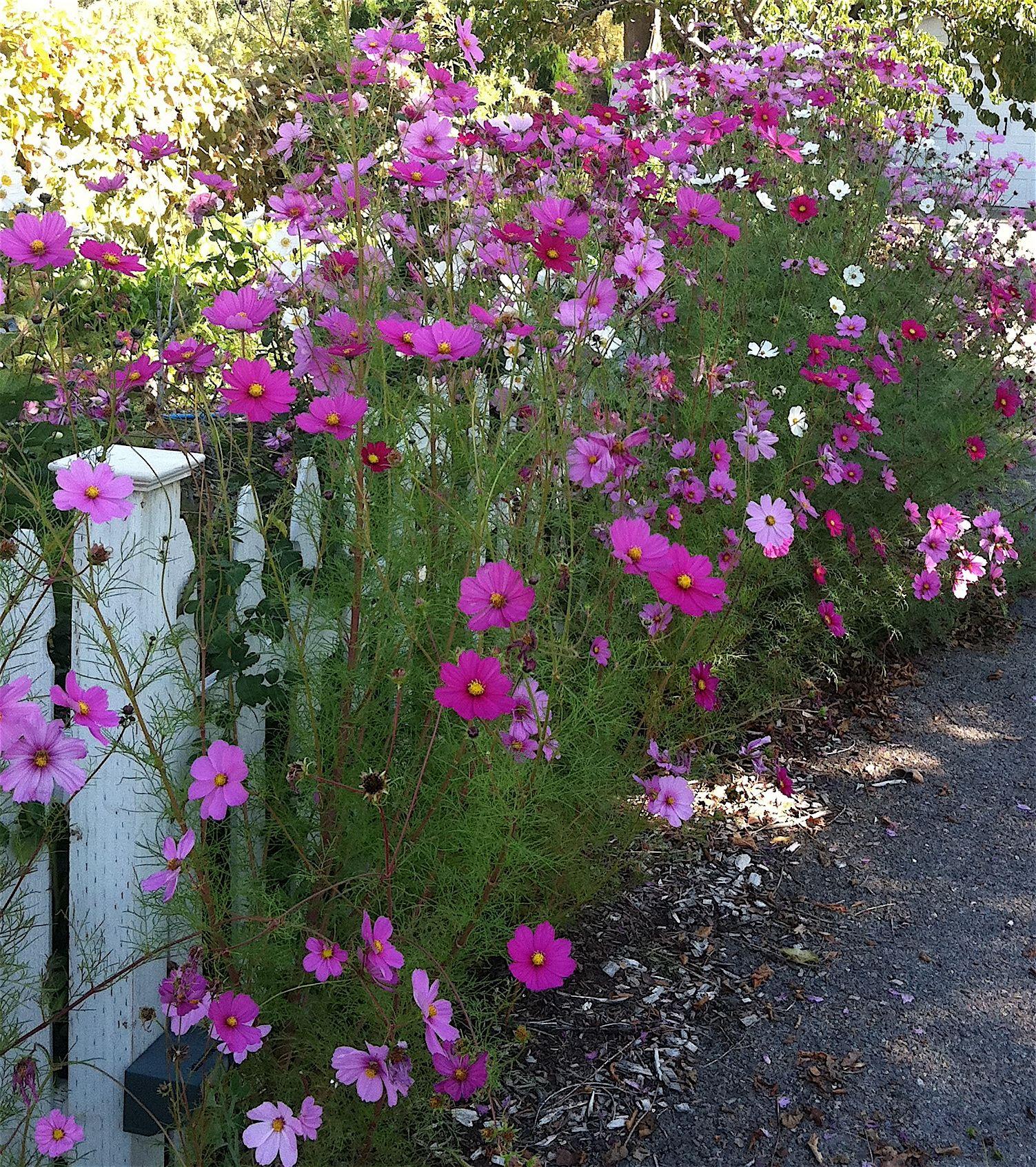 Cosmos Cosmos Flowers Flower Garden Beautiful Flowers