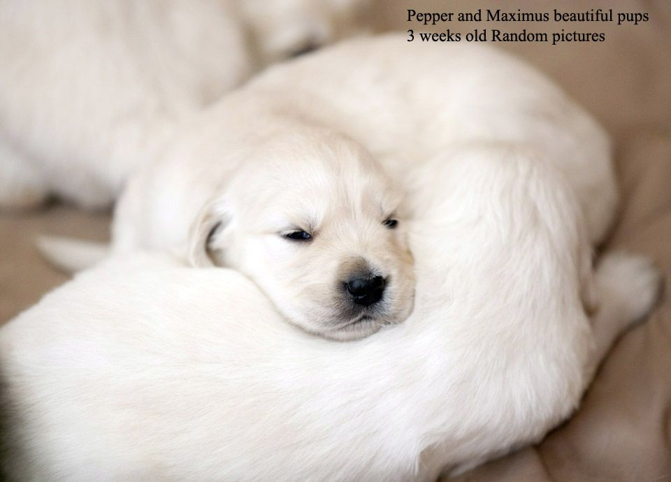 Pepper With Images White Golden Retriever Puppy Golden Retriever White Puppies