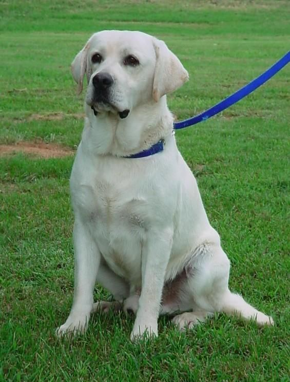 Pin By Buffy Renko On Labradors Yellow Lab Puppies Lab Puppies Lab Dogs