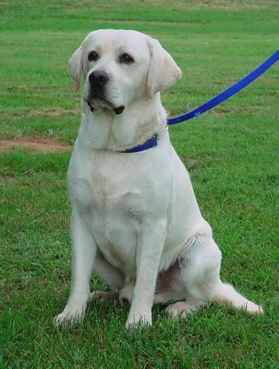 English Lab Description Labrador Retriever Dog Dogs Therapy