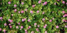 5 vivaces couvre-sols à longue floraison quil faut avoir!