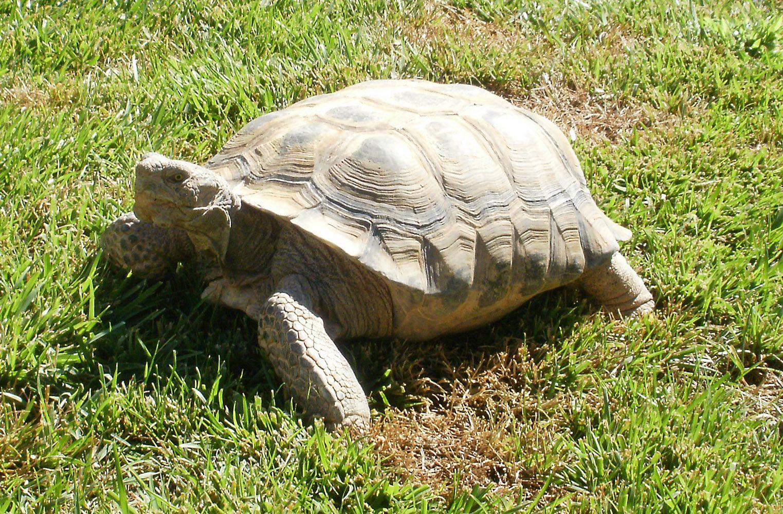 Desert tortoise big guy tartarughe tortoise russian for Tartarughe grandi