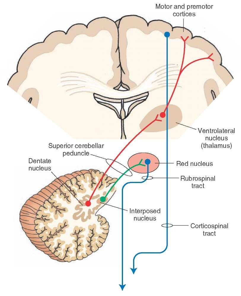 Diagram depicts the outflow pathways from the cerebellar cortex to the cerebral cortex and red