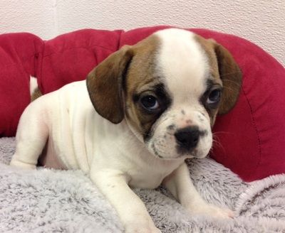 Pin On Petland Novi Puppies