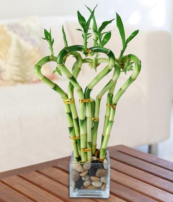 Bamboo House Plant ~ Images of house plants types bamboo