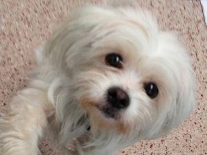 Adopt Lilith 5 17 13 On Petfinder Maltese Dogs Maltese Shih Tzu Dog Mixes