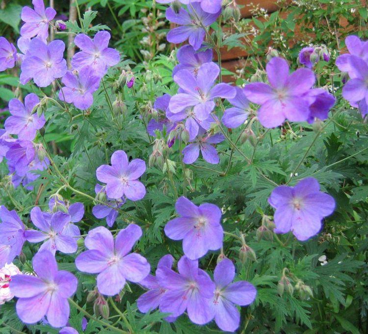 die besten 25 blue geranium ideen auf pinterest winterharte pflanzen schmetterlingspflanzen. Black Bedroom Furniture Sets. Home Design Ideas