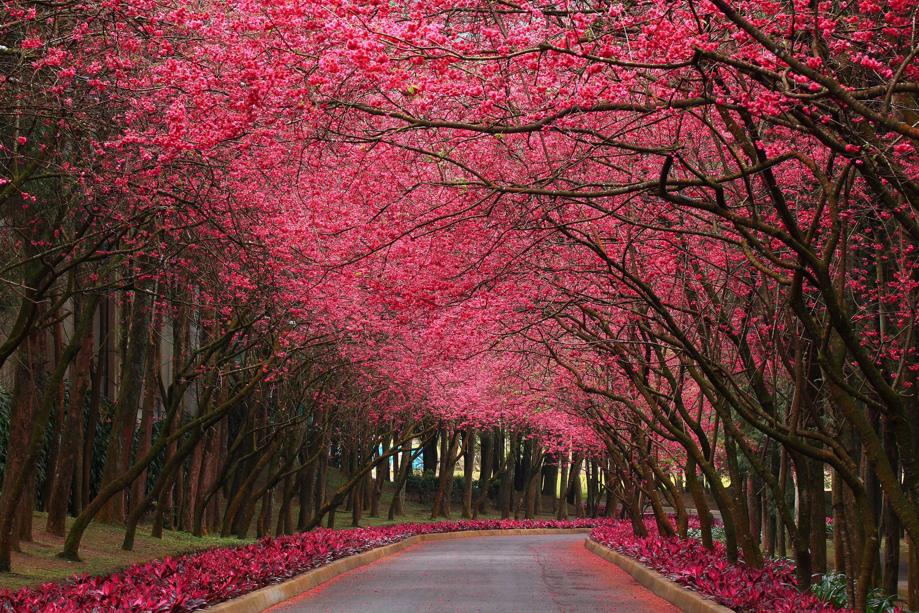 Nature Wallpaper In Hd With Flowering Trees Pink