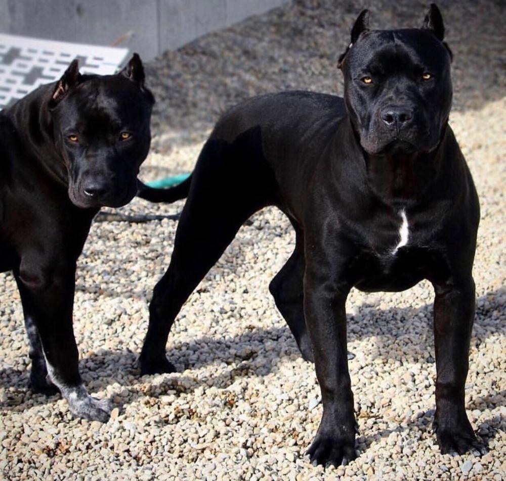 Leatox Schwarze Hunde Hunde Pitbull Welpen