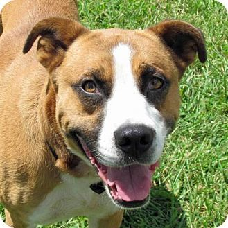 Madison, IN Boxer Mix. Meet Alston, a dog for adoption