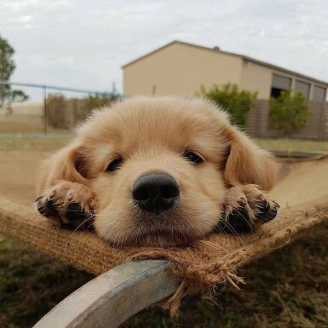 Golden Retrievers Insta On Instagram Good Night Follow Goldenretrieverinsta For More Photos Special Cute Baby Animals Cute Animals Cute Puppies