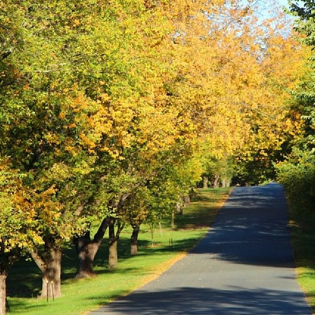 Instagrammer simplycheecky found these golden leaves on Dunrossil Drive, Canberra