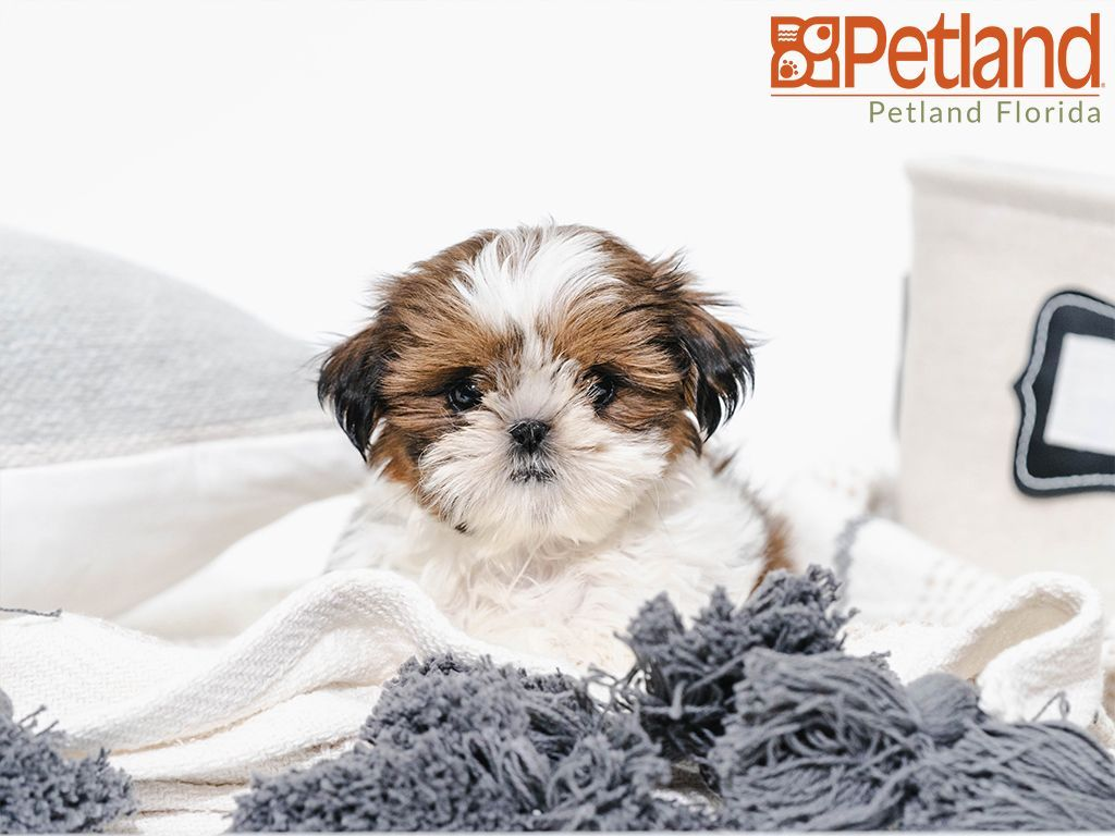 Park Art|My WordPress Blog_Shih Tzu Puppies For Sale In Florida By Owner