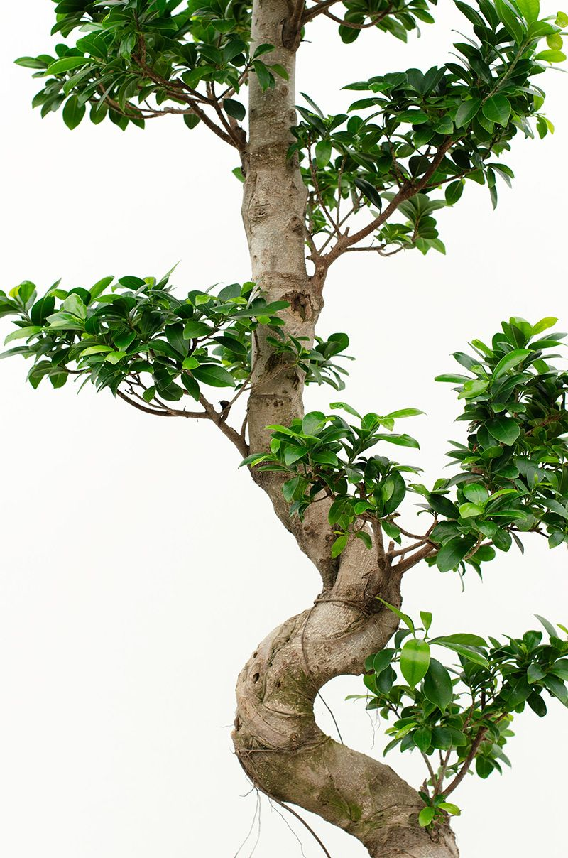 Ficus microcarpa chinese banyan house of plants in 2020
