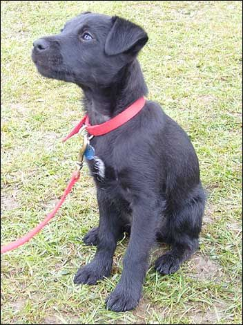 Pictures Of A Patterdale Dog