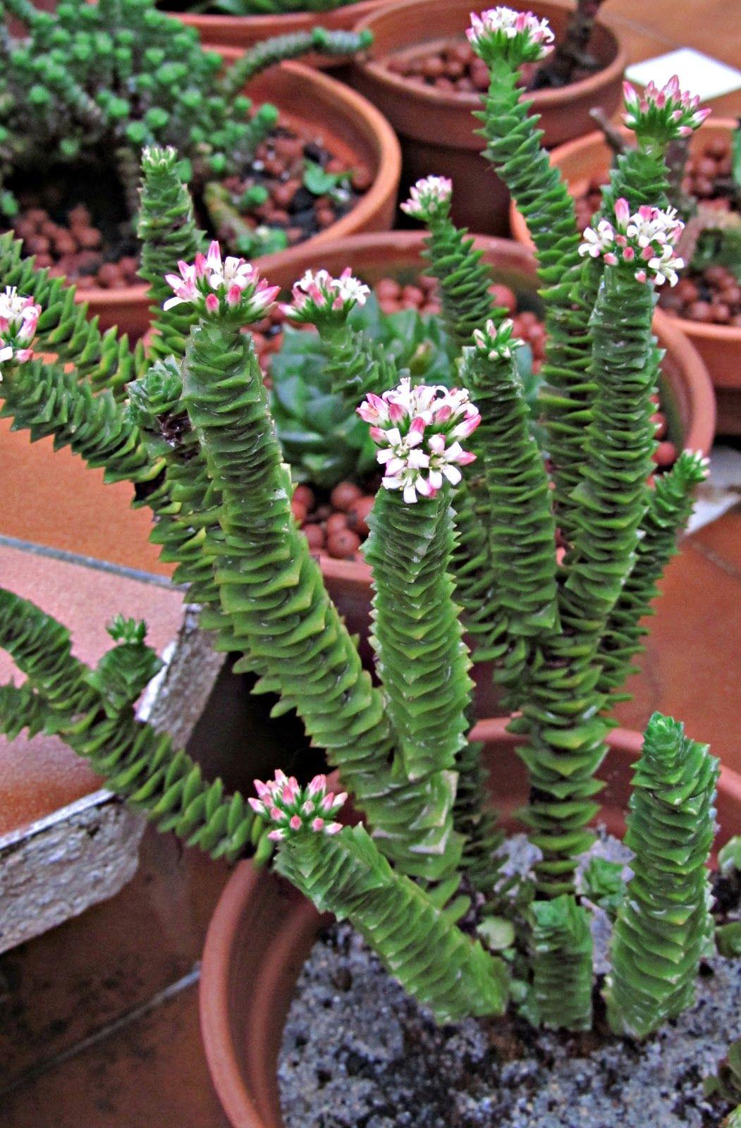 Jardines de cactus y suculentas buscar con google - Cactus raros fotos ...