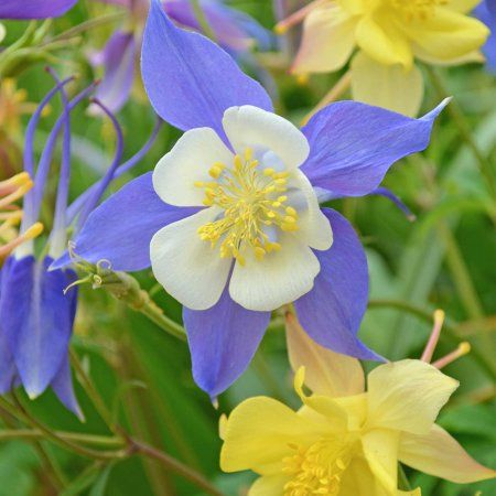 Mckansas giant columbine seeds 1 oz bright color mix perennial mckansas giant columbine seeds 1 oz bright color mix perennial flower garden seeds aquilegia x hybrida perennials seeds and gardens mightylinksfo