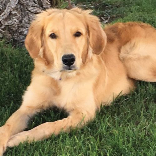 Golden Retriever Rescue Of El Paso Rescuing Stray Abandoned Or