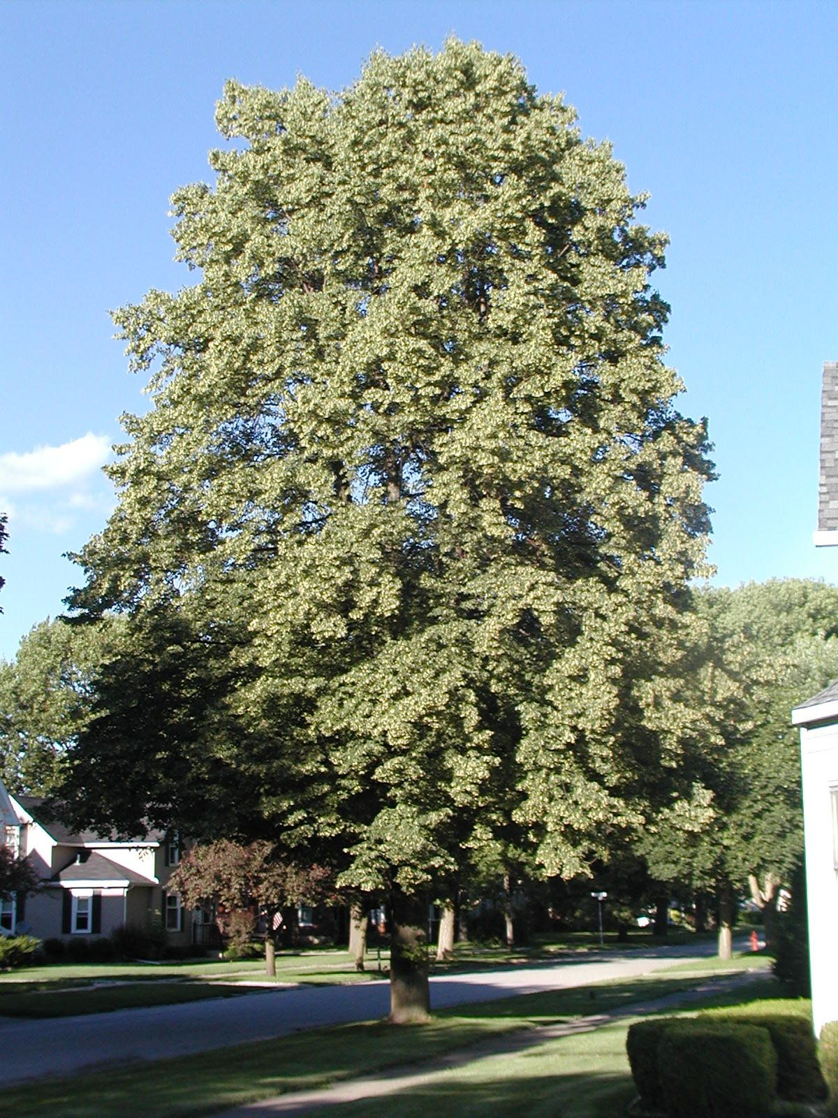 small-leaf-east-european-linden-tree.jpg 1,200×1,600 pixels | Trees ...