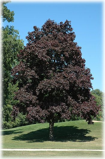 Quot Crimson King Quot Maple My Favorite Tree We Had A