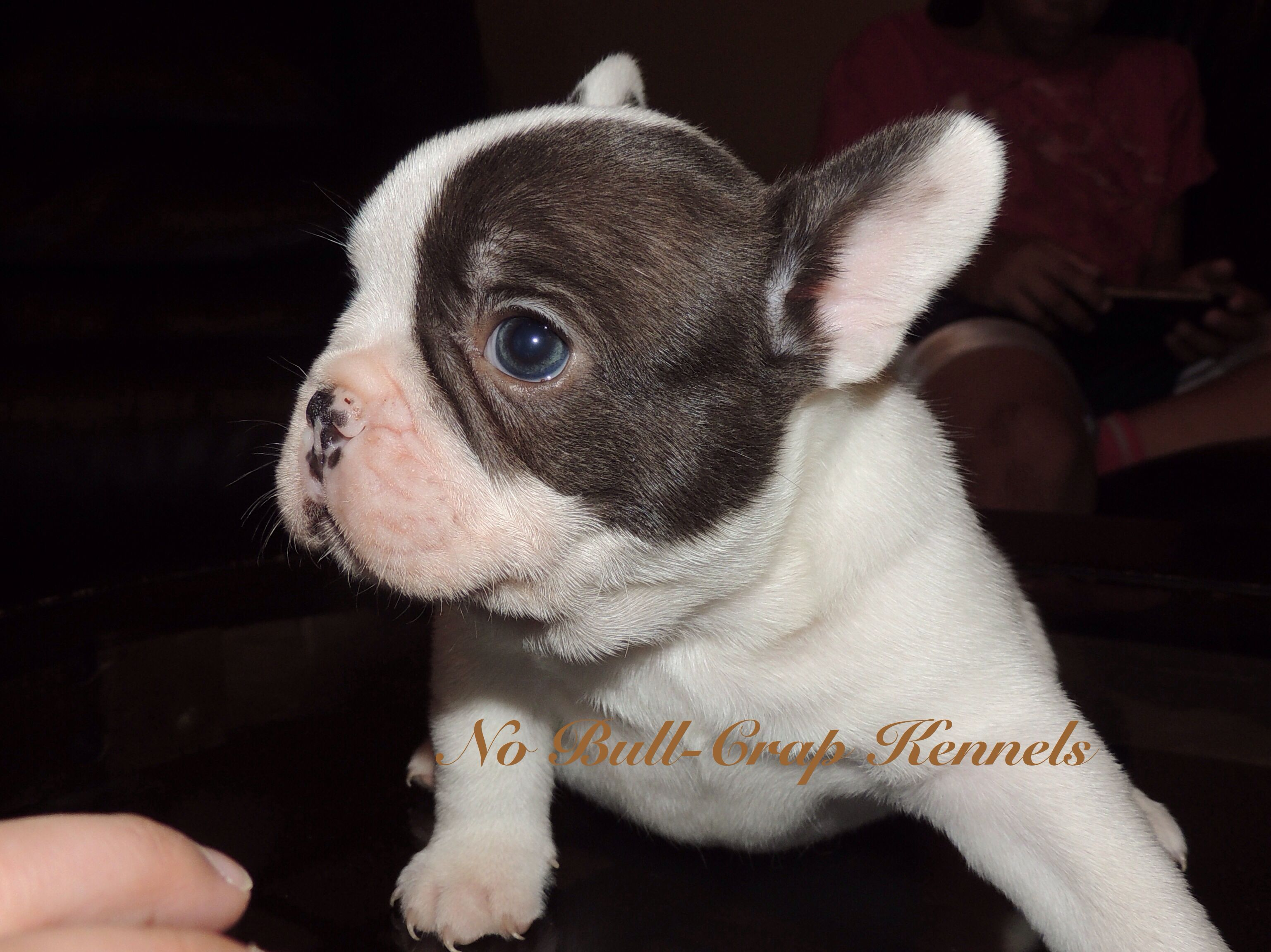 Chocolate Pied French Bulldog Available French Bulldog French