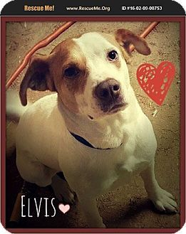 Salisbury, NC - Pointer/Foxhound Mix. Meet Elvis, a dog for adoption. http://www.adoptapet.com/pet/14894640-salisbury-north-carolina-pointer-mix