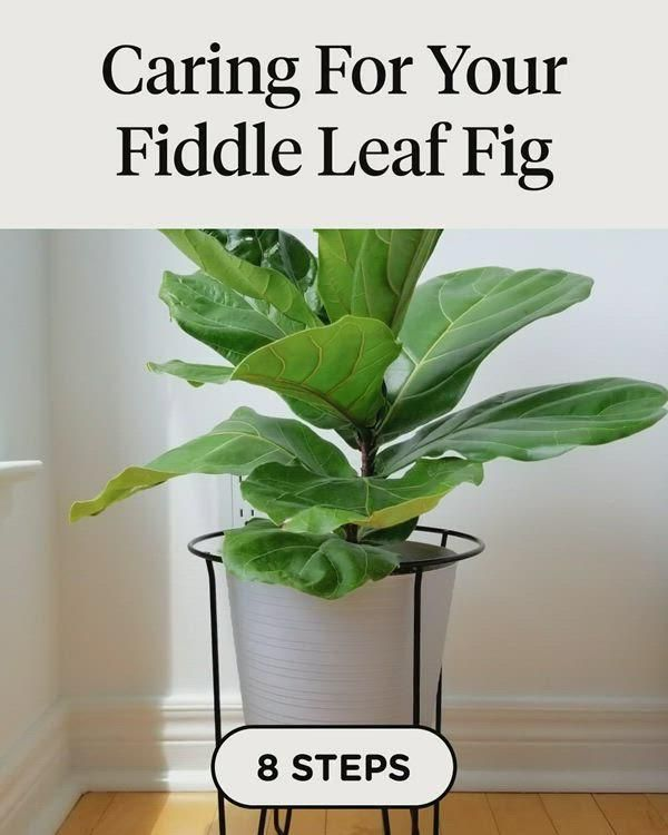 Discover how to Caring For Your Fiddle Leaf Fig in 8 steps