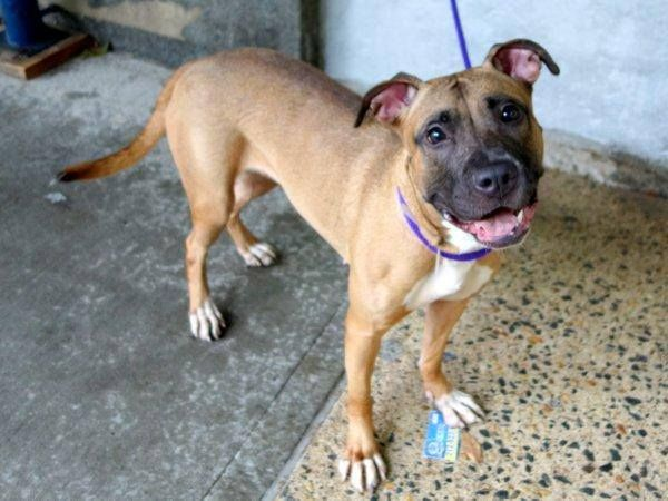 TO BE DESTROYED 10/10/14- Manhattan Center - P  BROOKLIN aka BKLYN - A1015824  FEMALE, BROWN / BLACK, PIT BULL MIX, 2 yrs, 1 mo OWNER SUR - EVALUATE, NO HOLD Reason MOVE2PRIVA  Intake condition EXAM REQ Intake Date 09/30/2014, From NY 10458, DueOut Date 09/30/2014,