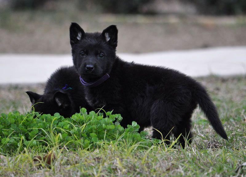 Cute Solid Black German Shepherd Puppies Wallpaper Sable German
