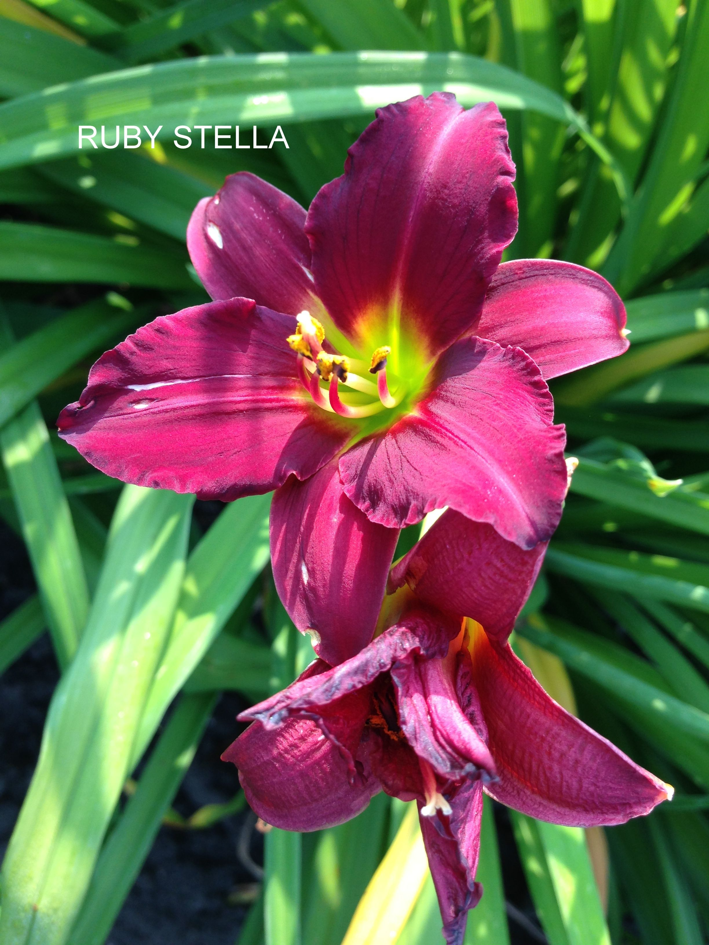 Ruby Stella Daylilies Pinterest Flowers Garden Flowers And