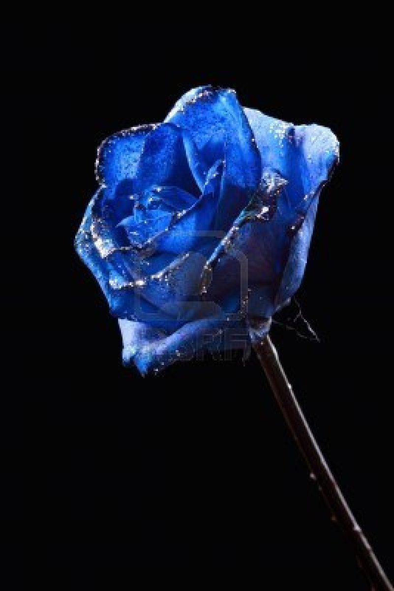 Stock Photo Blue Rose Black Backgrounds Blue