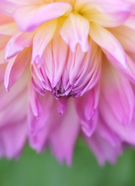 Dahlia Beautiful Flowers Flowers Amazing Flowers