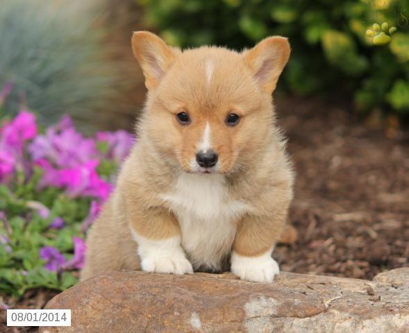 Lance Welsh Corgi Pembroke Puppy For Sale In Blain Pa Welsh Corgi Puppies Corgi Corgi Puppies For Sale