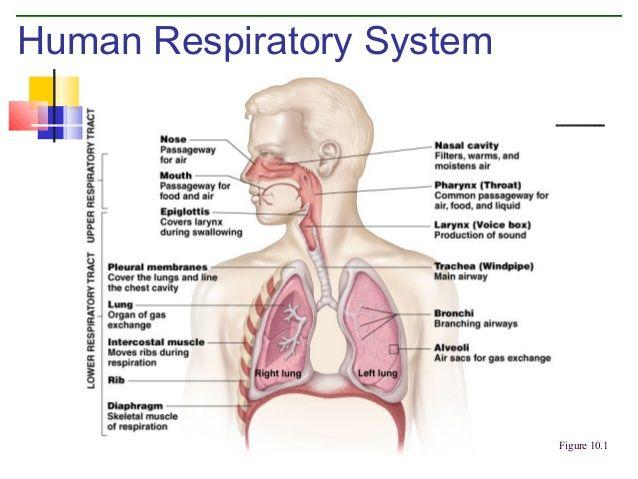 Human Ventilation System : Respiratory system google search