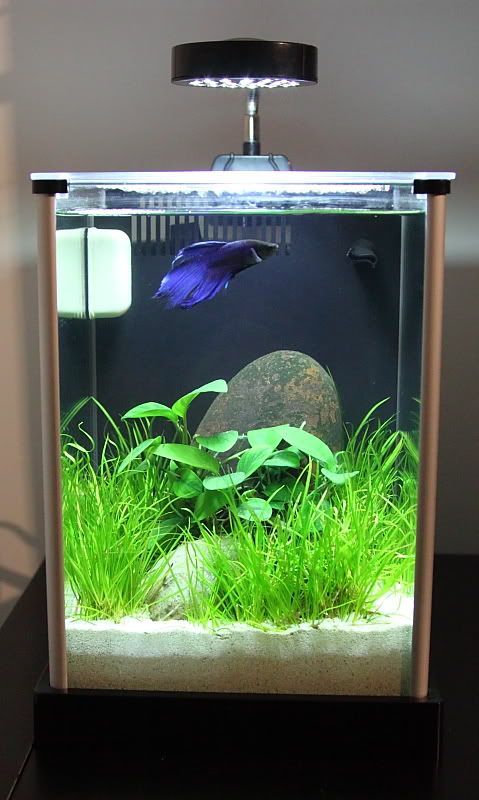 Narhay 39 s office 2 gallon fluval spec planted tank for 2 gallon betta fish tank