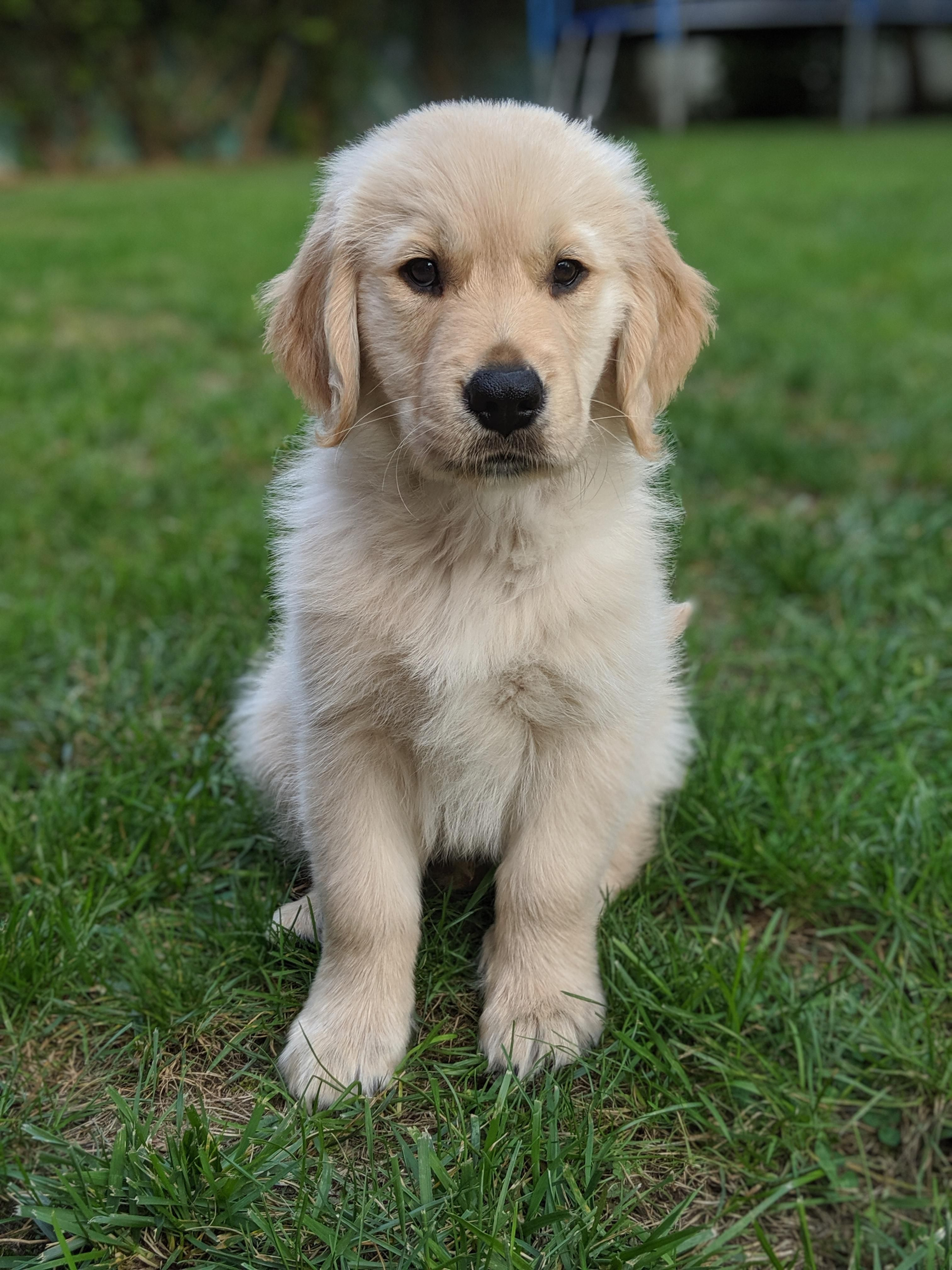 Maximum Cuteness In Need Of A Hug Goldenretriever Golden