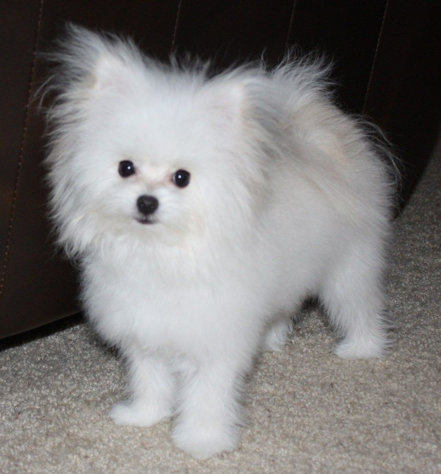 Pom Maltese Mix Probably On Of The Cutest Mutts I Have Ever Seen