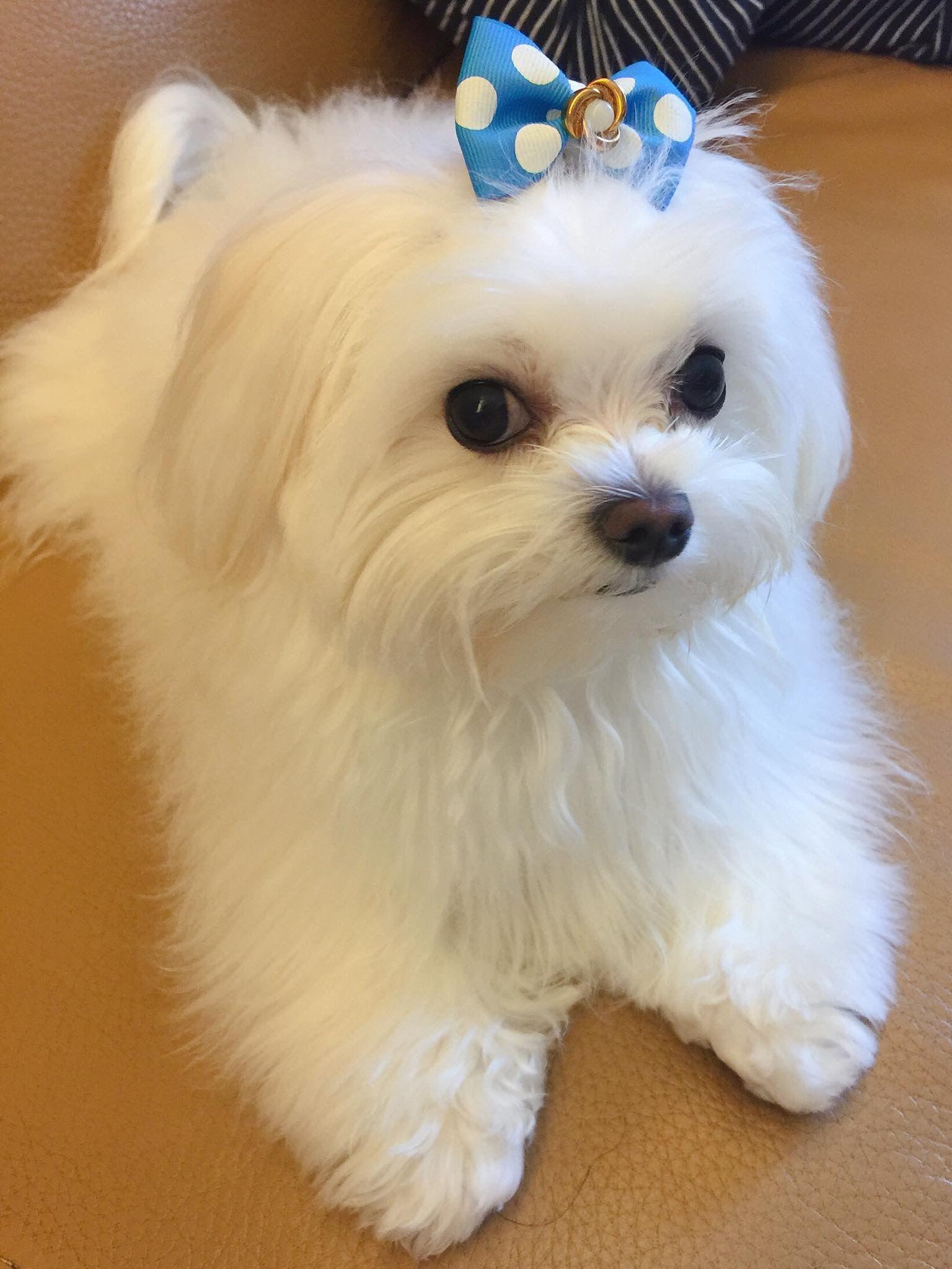 It S So Cute Maltese Dog Breed Maltese Puppy Cute Puppies