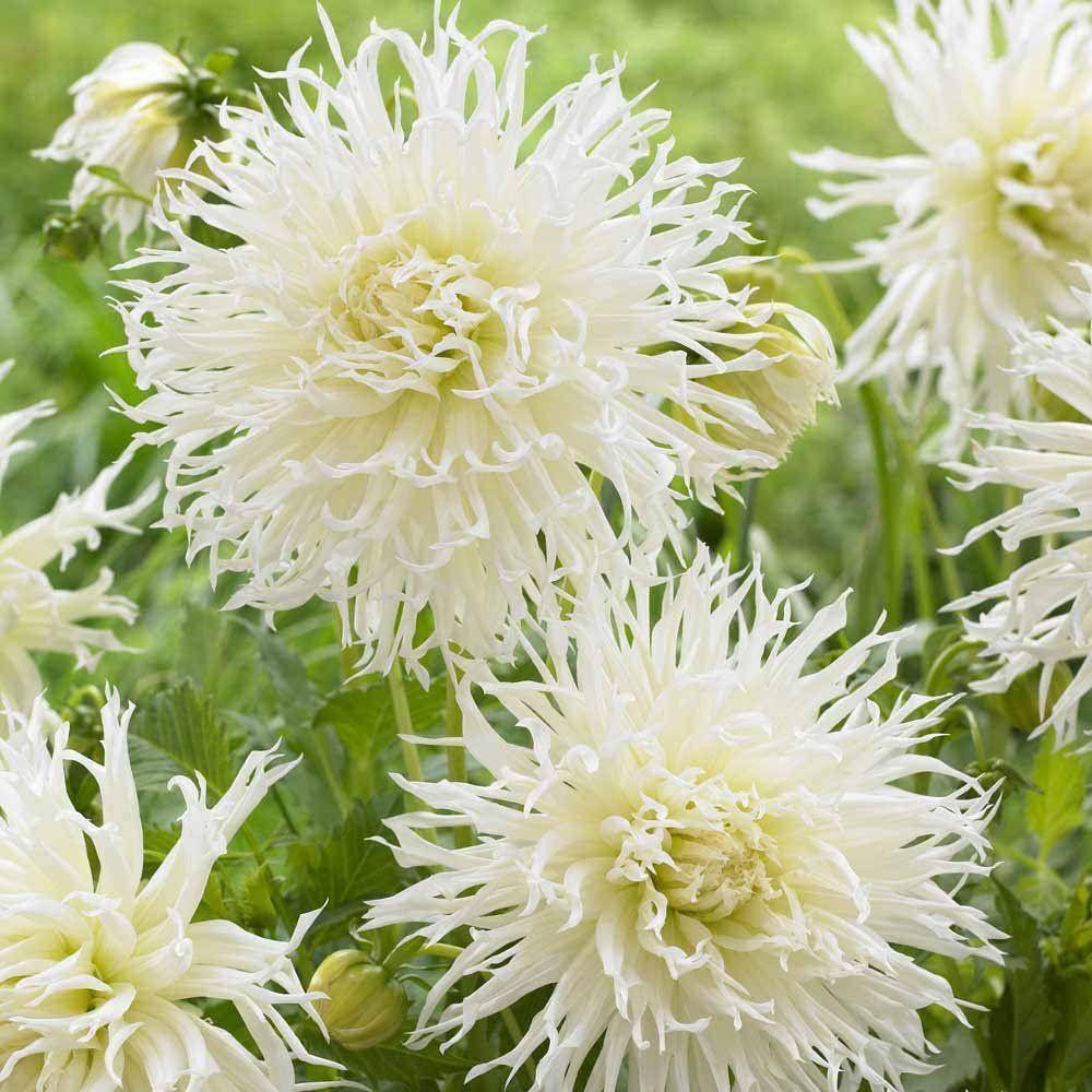 White Dahlia Tsuki Yori No Shisha 2 Tubers Mop Head Shaggy Cactus
