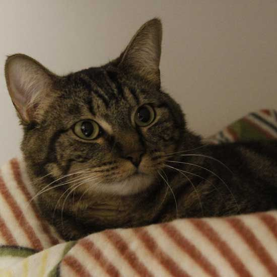 Lap Cat Alert Mary Lou Enjoys A Slower Pace Of Life Any Lap Will Do For Her She Is A Brown Tabby Cat Waiting For Her Forev Tabby Cat Cute Cats