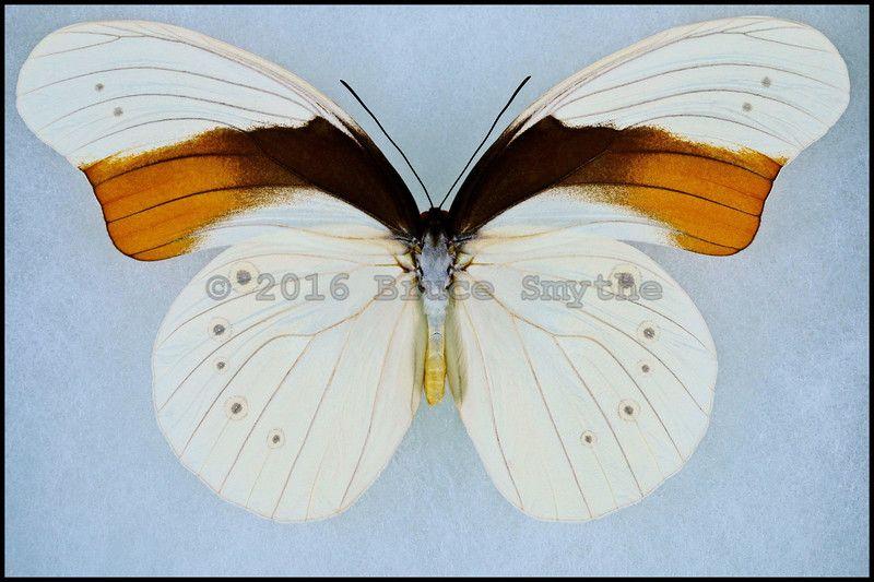 Sưu tập Bộ cánh vẩy 2 - Page 81 4349468e6e07654598fedf5af6093c33
